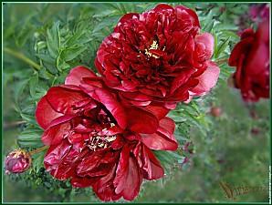 galerie-membre-fleur-pivoine-hpim-pivoines-carmin-jardin-d-.jpg