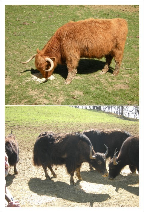 10-highlands-yacks-copie-1