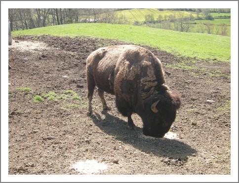 10c-bison-amerique