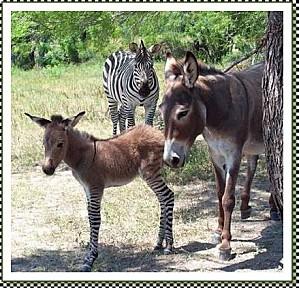 anon-zebre
