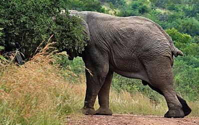 éléphant 6