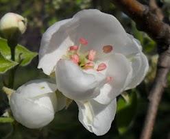 Fleur-cerisier.JPG