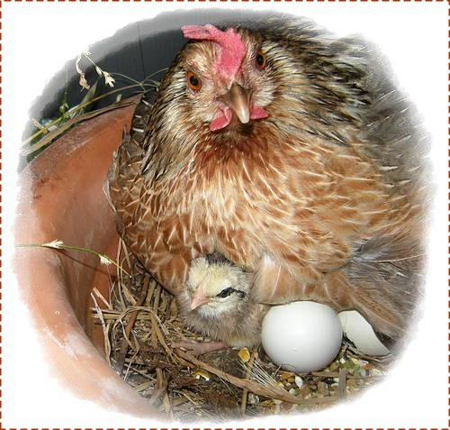 20120611-poule-poussin