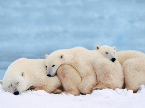 trois-ours-polaires-se-tiennent-chaud.jpg